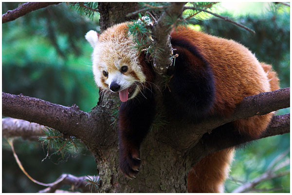 Relaxed Red Panda