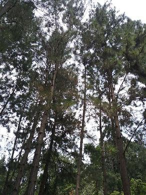 Coniferous Forest1.jpg