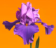 Still Life with Iris, #216_detai1+_s2.jpg