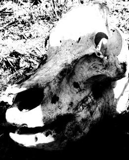 Pig Skull