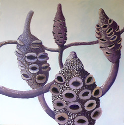 BANKSIA GRANDIS SEED PODS