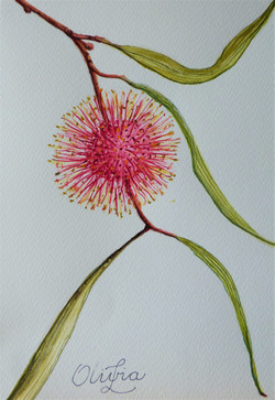 Pincushion Hakea Watercolour