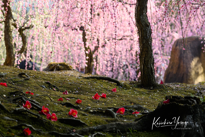 「枝垂れ梅と落椿」
