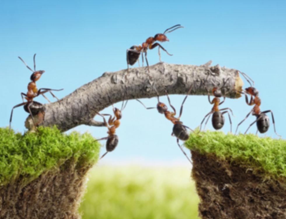 team work, ants constructing bridge.jpg