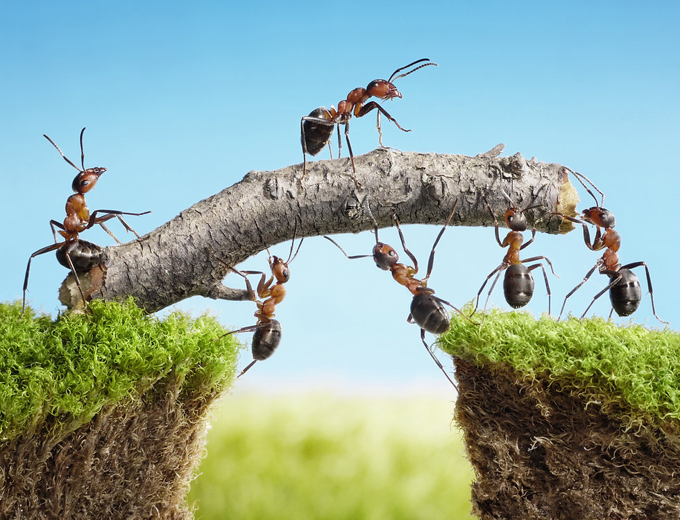 team work, ants constructing bridge.jpg