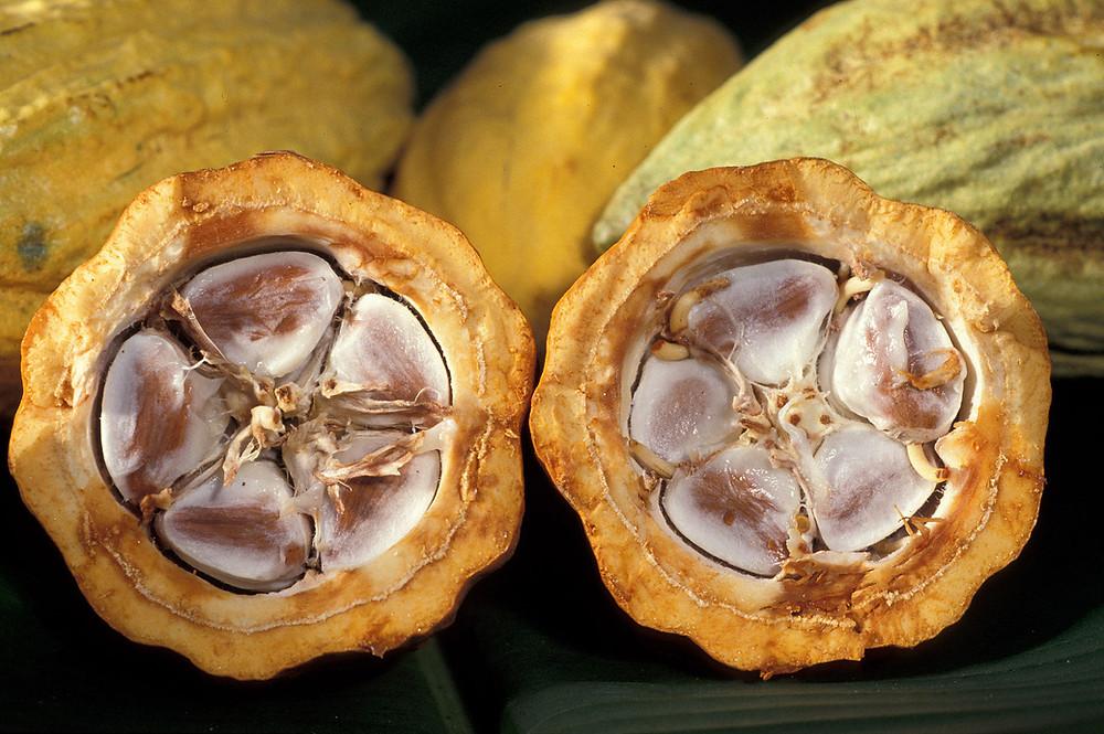 corte transversal del cacao