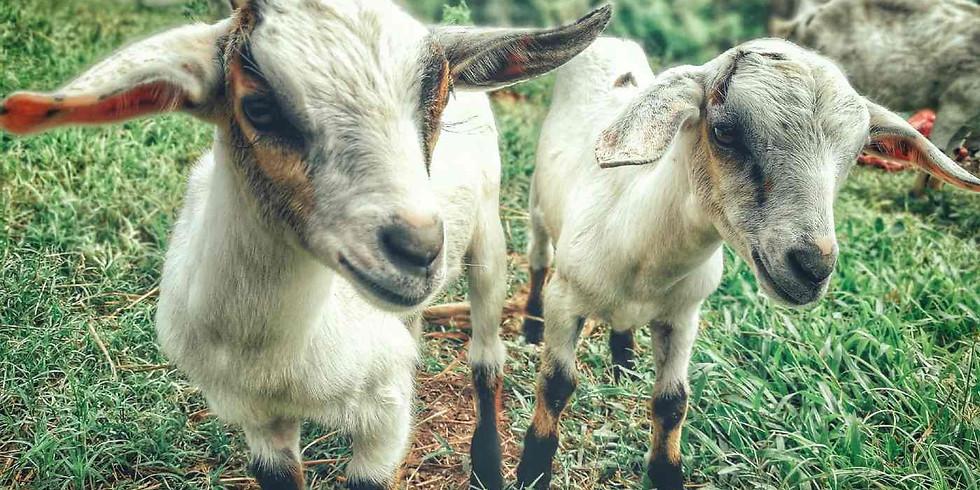 Goat Yoga at The Little Farm. November 7 2021.
