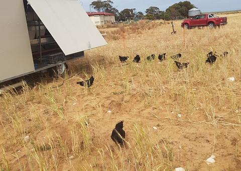 AF250 Aussie Chicken Nesting Trailer
