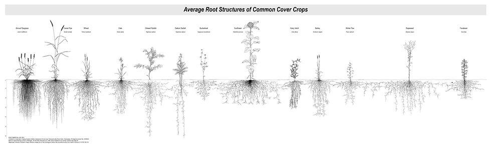 Cover Crop Roots (20200624).jpg