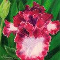 Montmarte (Iris)