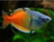 Boesemani-Tropical-Rainbowfish.jpg