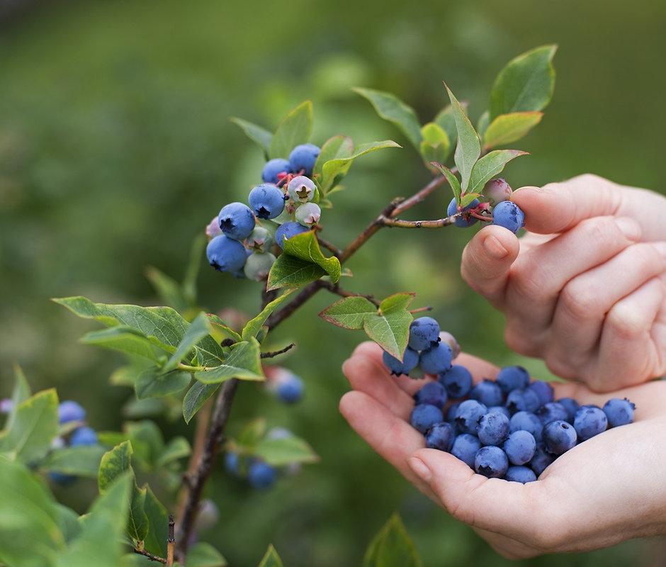 Blueberries%20on%20the%20vine_edited.jpg