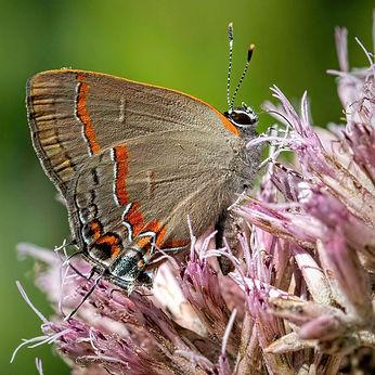 Backyard, butterflies, Hairstreak, Joe Pye, Red-banded Hairstreak 5W0A7341-Edit_August 11,