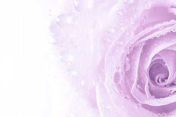Soft focus, Close up beautiful purple rose with water drops background texture.jpg