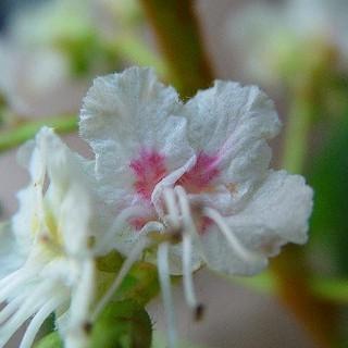 white chestnut.jpg