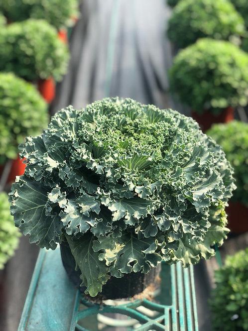 White Kamome Kale