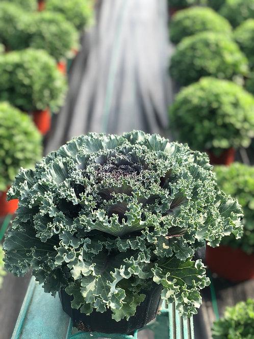Red Kamome Kale
