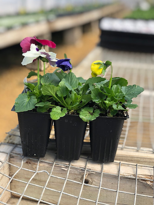 6-Pack Pansy