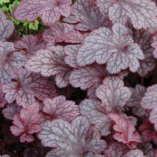 HIRES-Heuchera-Plum-Pudding_edited.jpg