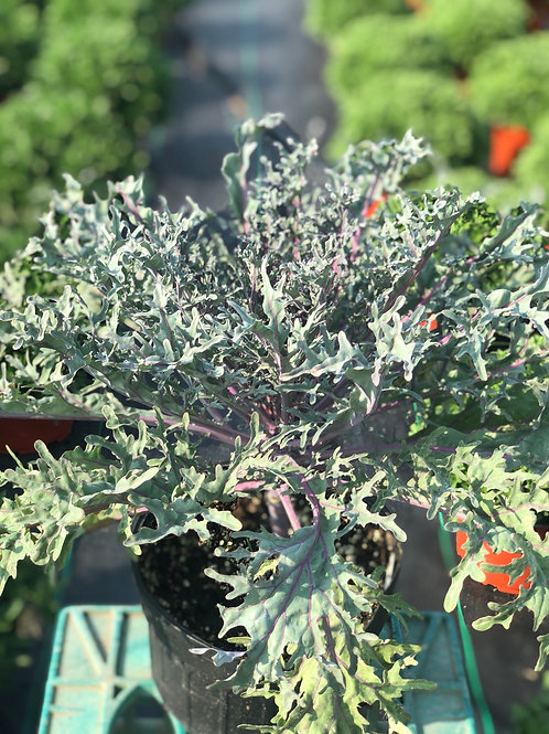 Red Peacock Kale