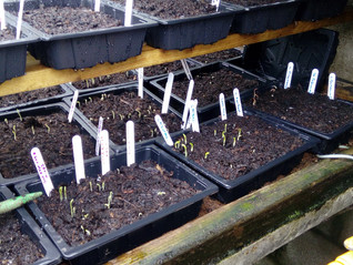 Sweet Pea Seedlings Germinating
