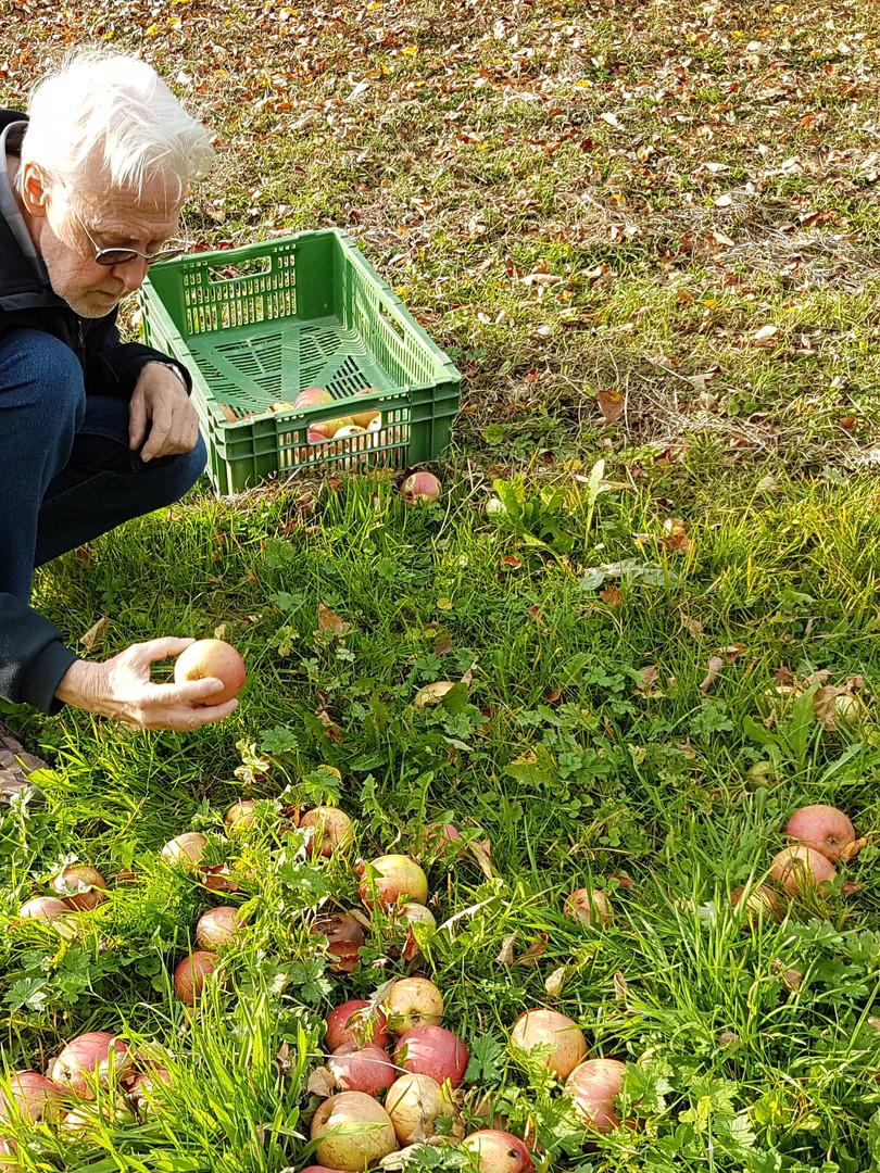 Äpfel ernten