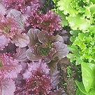 Lola Rosa Red Leaf Lettuce