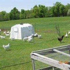 Pastured Chickens.jpg