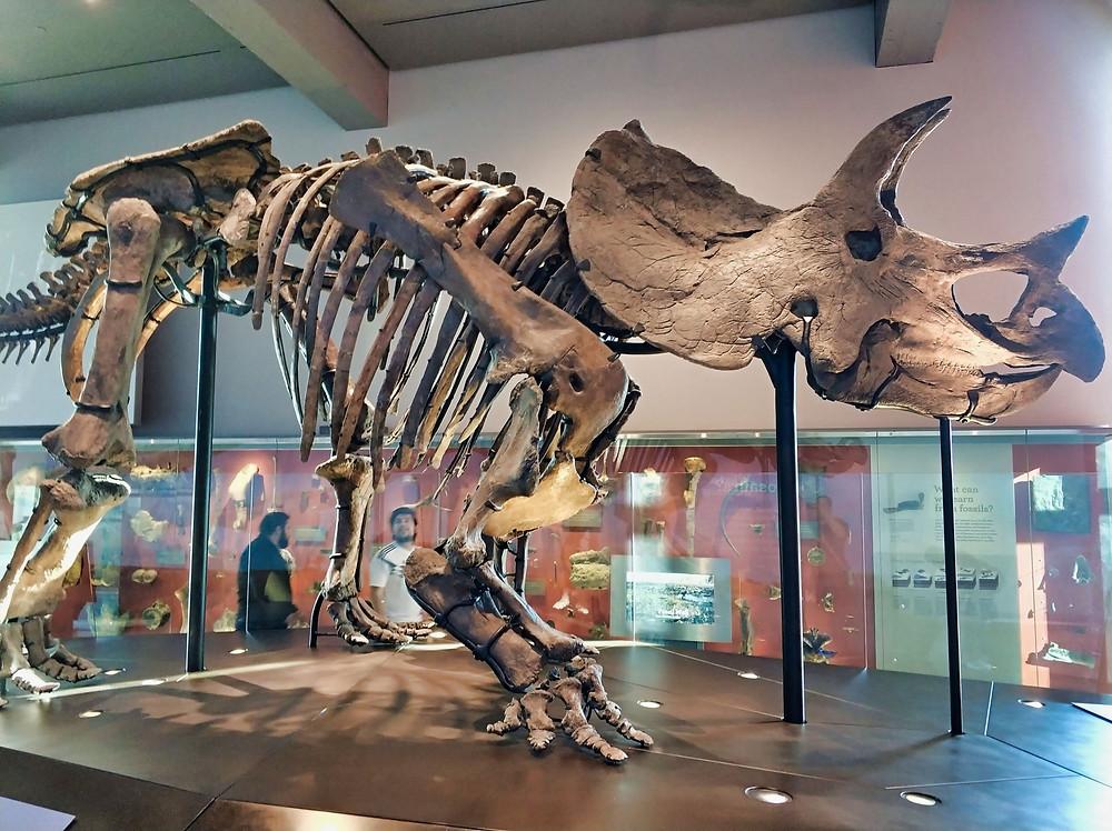 Museum of Natural History Dinosaur skeleton