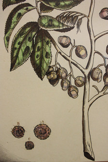 Pincushion Plant, 2017