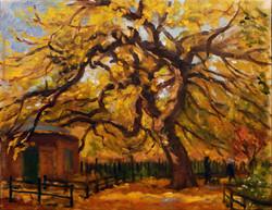Autumn Elm
