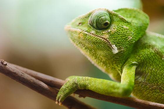 Kameleon op een tak