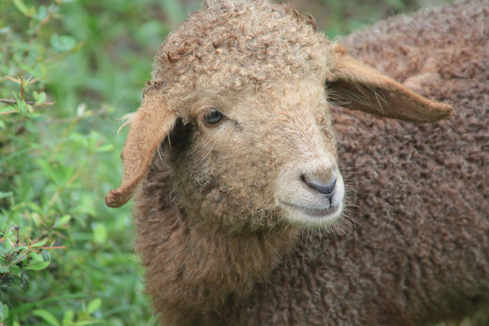 brown fluffy sheep stands in a field