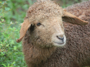 Sheep's-eye