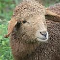 chops d'agnello