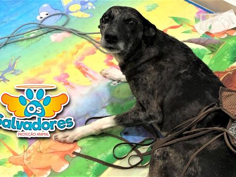 AJUDE: ONG Salvadores precisa ajuda para custear fisioterapia de cãozinha atropelada.