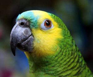 TRF-4 decide que papagaio não poderá voltar para guarda do criador