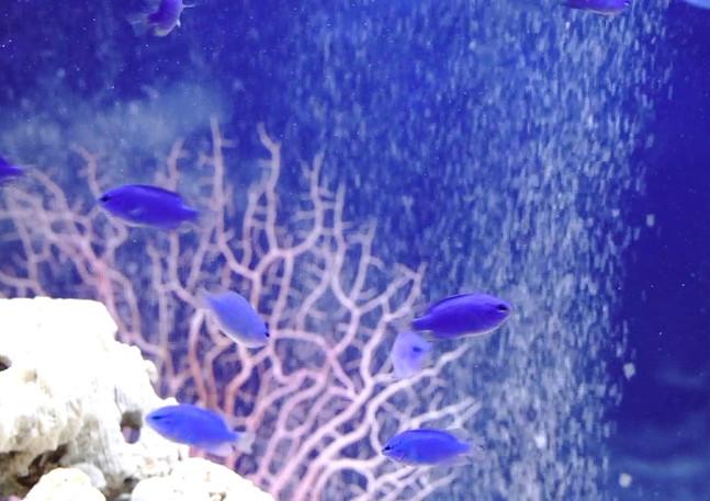 海のサファイヤ水槽2.jpg