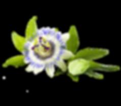 csm_Passionsblume_e5a9e003c8.png