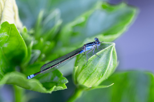 Rosemarie Edwards - Blue tailed Damsel fly - MERIT