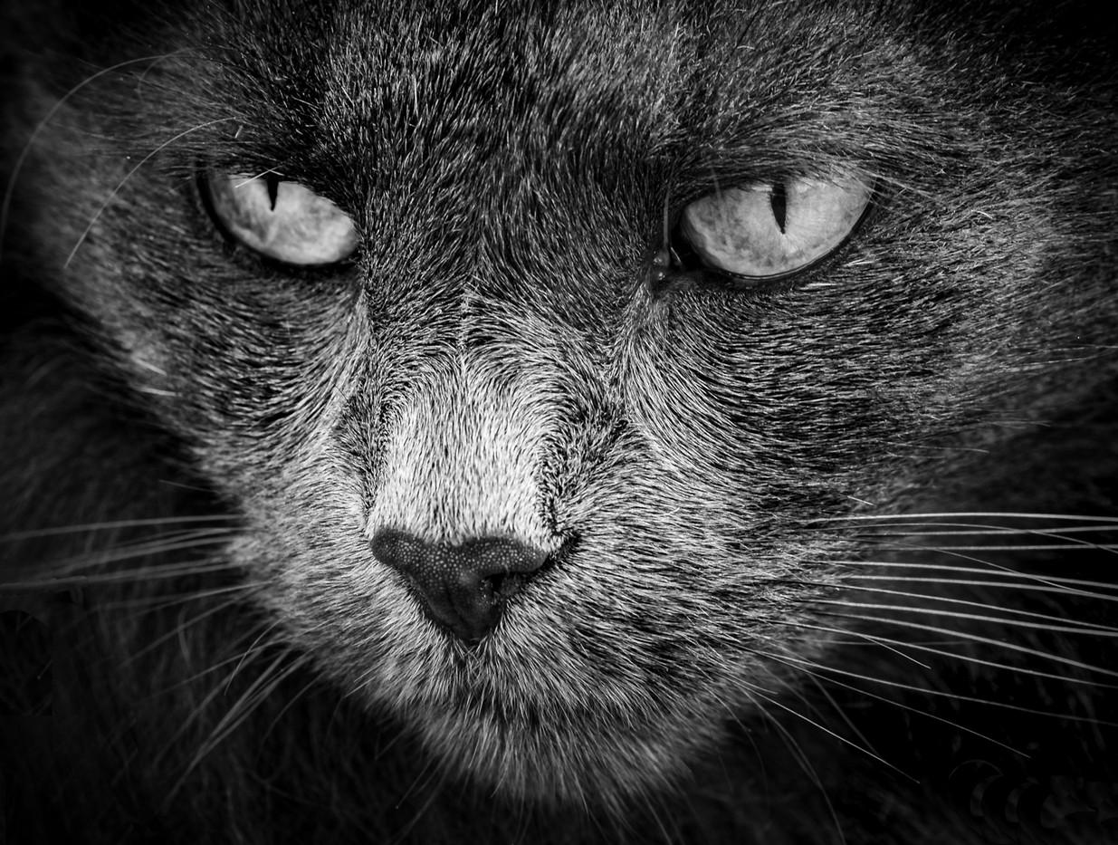 Rosemarie Edwards   Face of the feline - HONOUR