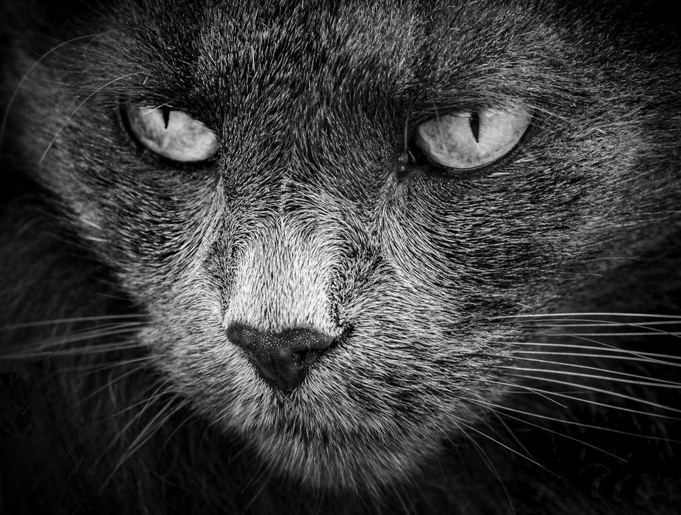 Rosemarie Edwards | Face of the feline - HONOUR