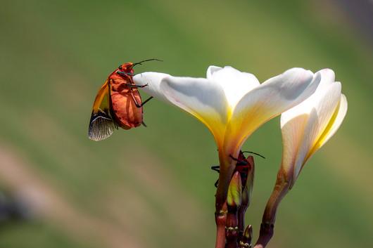 John Abbott - Frangipani and the Harlinquin Beetle MERIT.jpg