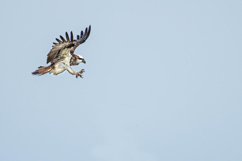 Rosemarie Edwards - The Osprey is landing MERIT