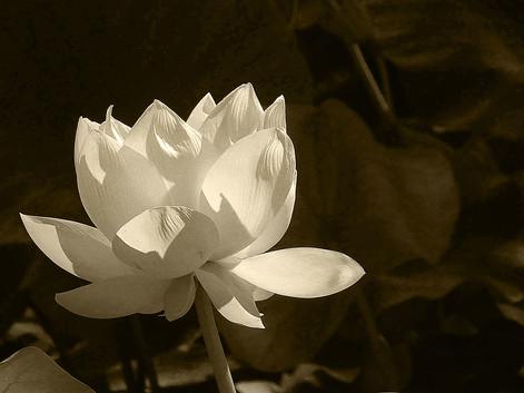 Di Wyatt - Lotus (HONOUR)