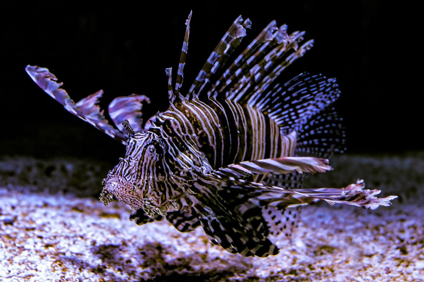 Hans Schmidt   Lion fish