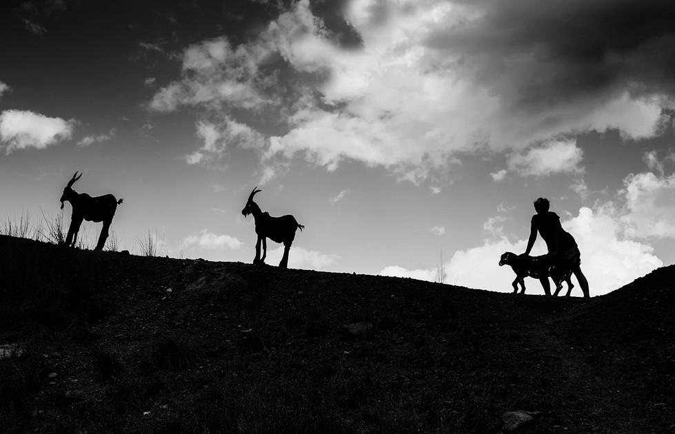 Margaret Kossowski - LETS PUSH THAT SHEEP