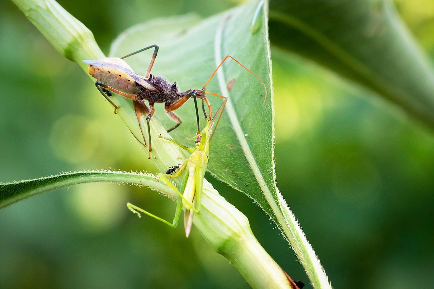 John Abbott - Assassin Bug with Hopper