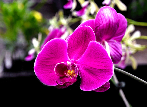 Alan Bellinger - Orchid MERIT.tif