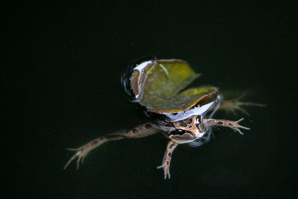Judy Keegan - frog in a pond